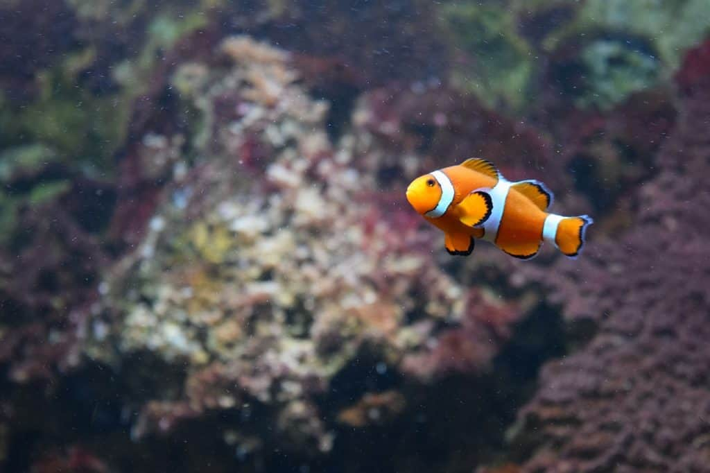 does a clown fish need saltwater to survive aquariums at home