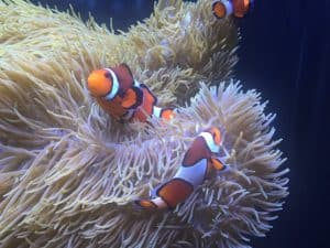 clown fish living in an anemone