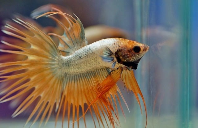Can Fin Rot Kill A Betta Fish What You Can Do To Help Aquariums At Home