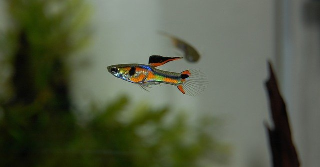Guppies are easy to keep