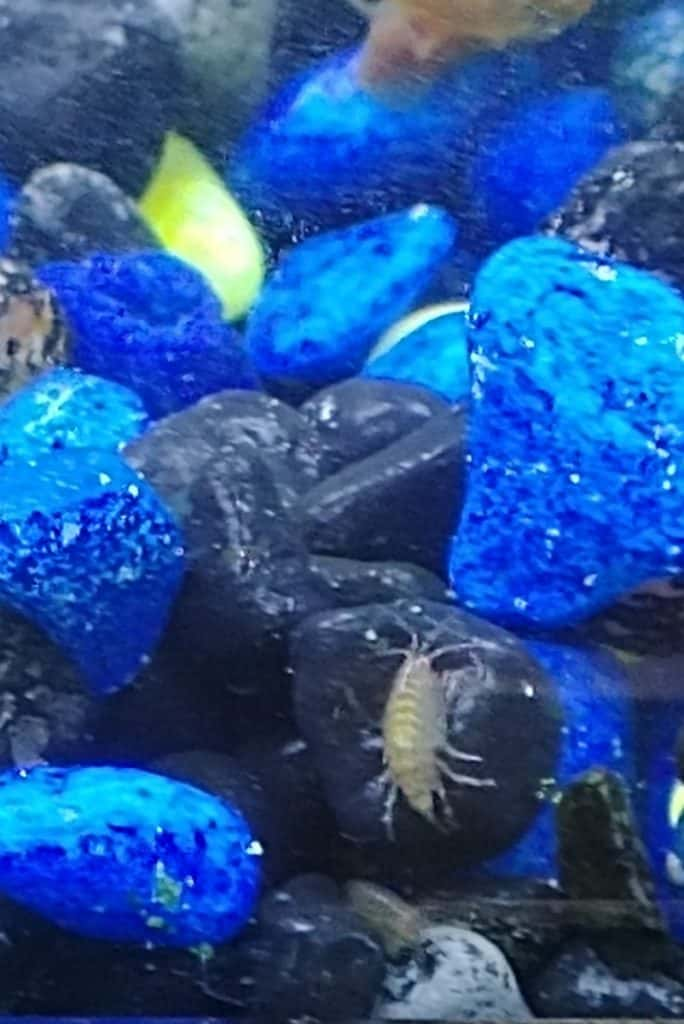 This is an amphipod in my aquarium. Also known as Scud's.