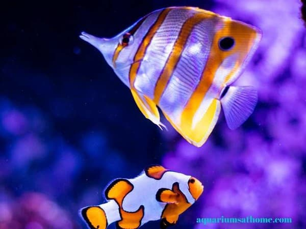 clownfish and butterfly tang
