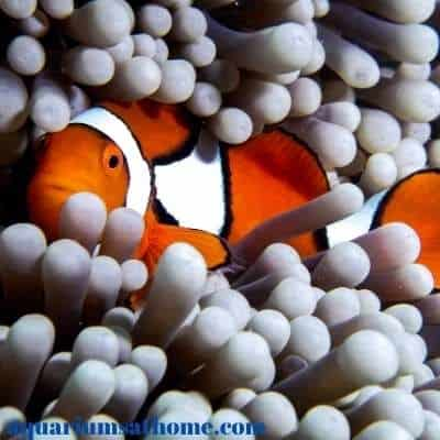 lone clown fish in anemone