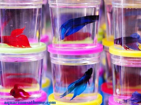betta fish in small containers