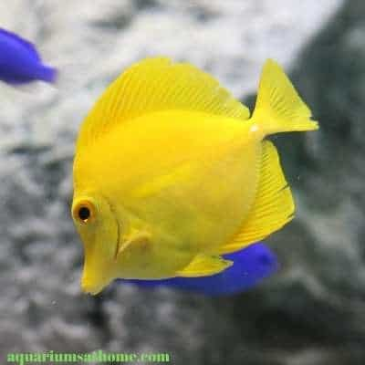 yellow tang with blue damsels